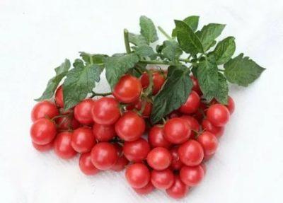 томат линда описание сорта
