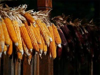 как сушить кукурузу