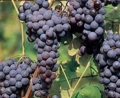 сорт винограда буффало