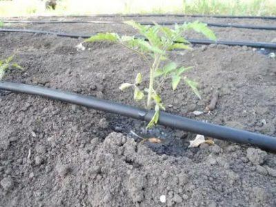 капельный полив для помидор