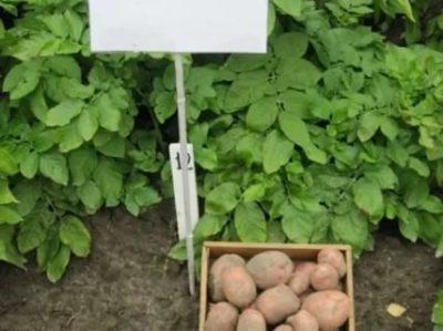 картофель красавчик описание сорта