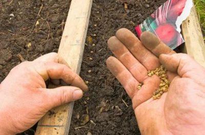 подготовка семян свеклы к посеву в открытый грунт