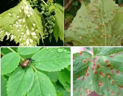 чем обработать виноград от тли