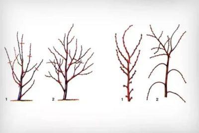 как обрезать черешню осенью