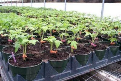 посев помидор в феврале