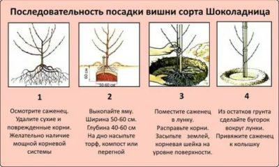 как посадить черешню весной пошаговое руководство