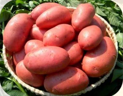 картофель лабелла описание сорта