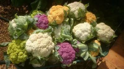 чем поливать цветную капусту