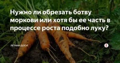 можно ли обрезать ботву у моркови во время роста