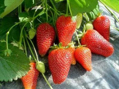 лучшие сорта земляники садовой