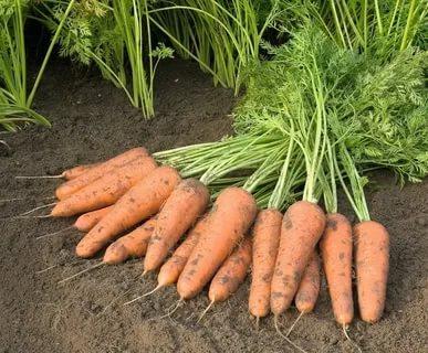 сорт моркови шантане