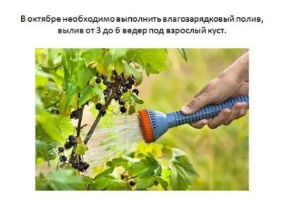 полив смородины летом