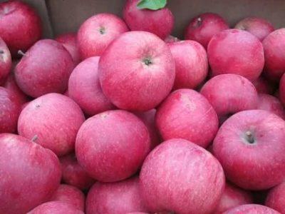 сорта яблонь для нижегородской области