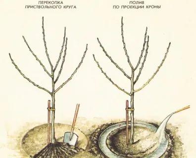как поливать яблони весной