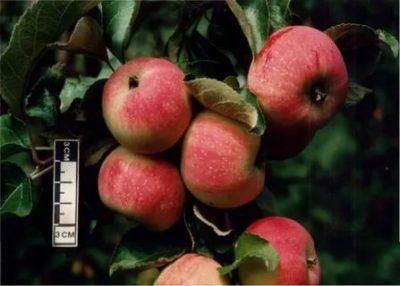 сорт яблони шафран