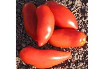 сорт помидор перцевидный