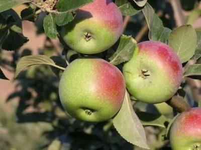поздние сорта яблонь для подмосковья
