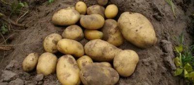 картофель сорт барин