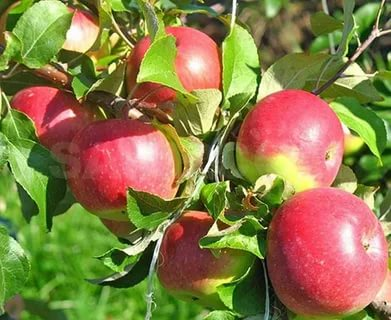 зимостойкие сорта яблонь