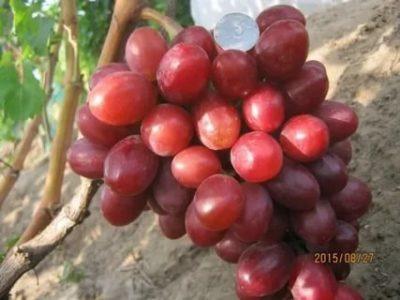 сорт винограда фаэтон
