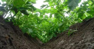 высокая ботва у картофеля что делать