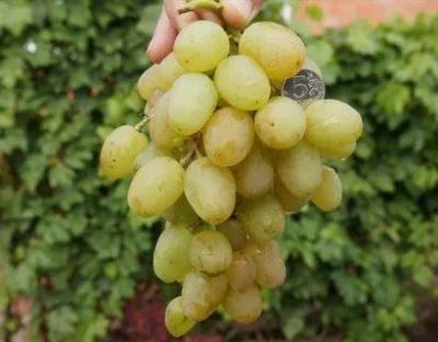 сорт винограда монарх