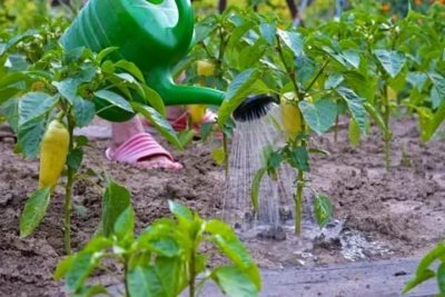 как часто поливать перцы в теплице
