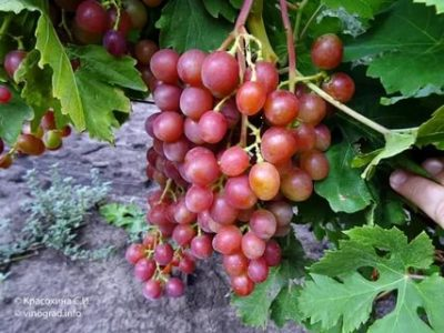 сорт винограда блестящий