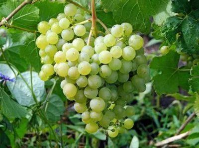 сорта винограда для татарстана
