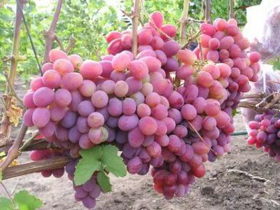 крупные сорта винограда
