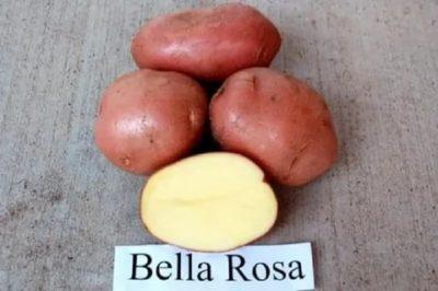 сорт картофеля бела роса