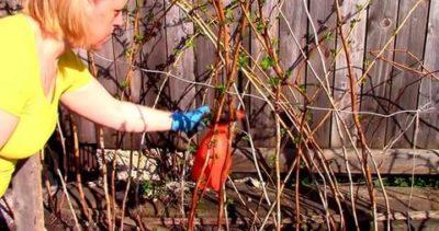 весенняя обработка малины от вредителей