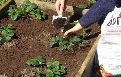 какие удобрения вносить при посадке клубники