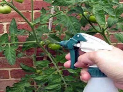 метронидазол опрыскивать помидоры
