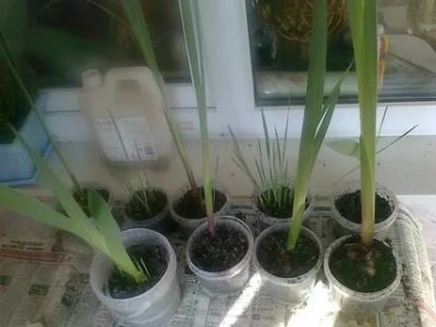 как посадить гладиолусы на рассаду