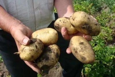 джувел сорт картофеля