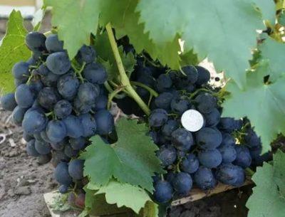 сорт винограда сфинкс