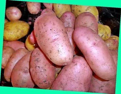 картофель 40 дневка сорта