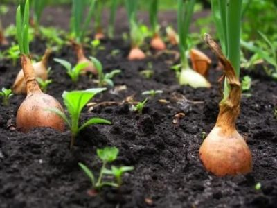 как посадить лук весной на головку