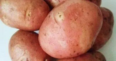 сорта картофеля для ярославской области
