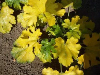желтеют листья у кабачков что делать