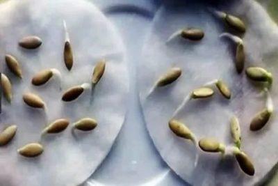 обработка семян огурцов перед посадкой