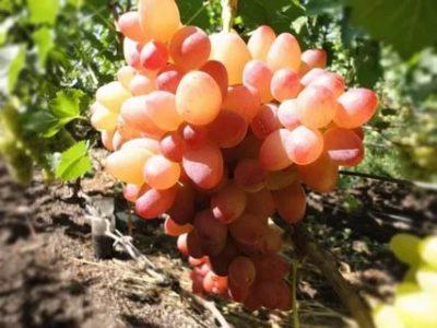виноград софия описание сорта