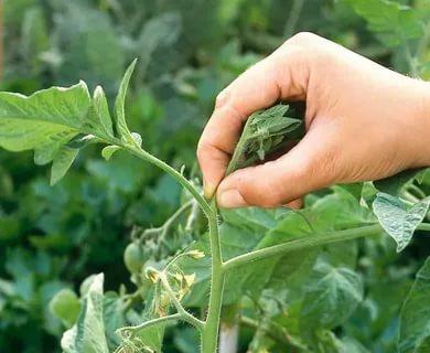 помидоры пасынкование и прищипывание