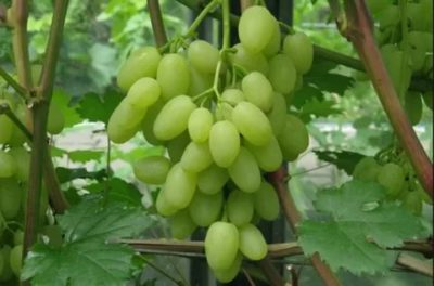 сорт винограда зарница