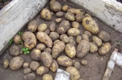 сорт картофеля фермер