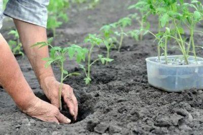 удобрение в лунку при посадке помидор