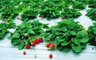 клубника ремонтантная выращивание и уход