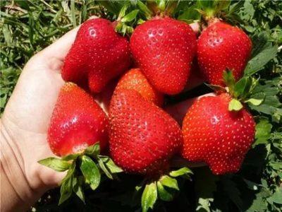 самые урожайные сорта клубники
