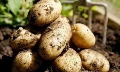 сорт картофеля ломоносовский